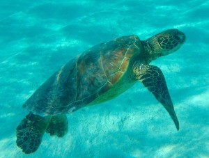 A turtle seen in Rarotonga. you can see why I love it so much.