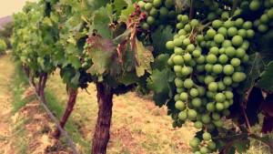 Torrentes grapes at Colomé vineyard.